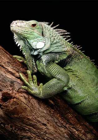 iguanagreen.jpg