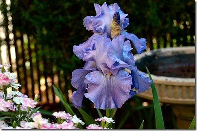 iris2008