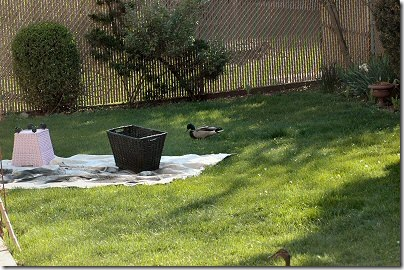 duckspaint